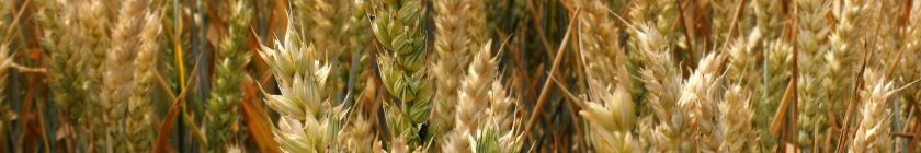 wheat-field-2487682_1920banner